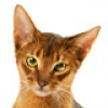 Abyssinian-small