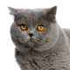 british-shorthair-small