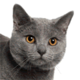 chartreux-small