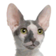cornish-rex-small