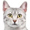 egyptian-mau-small