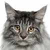 maine-coon-small