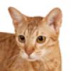 ocicat-small