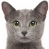 russian-blue-small